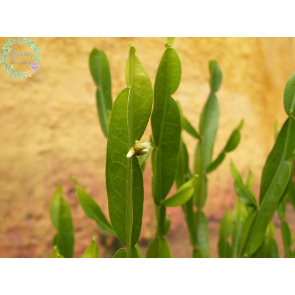 Carqueja, la Planta Medicinal Superpoderosa